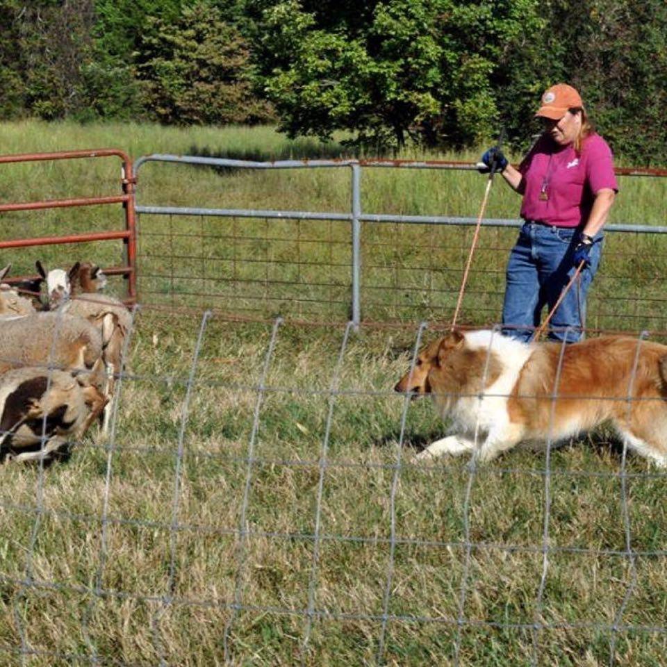 Herding Instinct Test