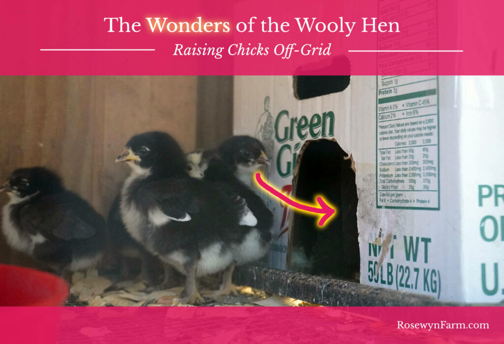 wooly hen off grid chicks rosewyn farm